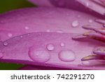 water drops on lotus petals. | Shutterstock . vector #742291270