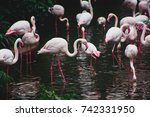 A Group Of Pink Flamingos...