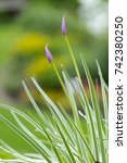 Small photo of society garlic or pink agapanthus, Tulbaghia violacea