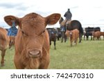 red angus calf in the branding... | Shutterstock . vector #742470310