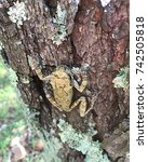 Small photo of Tree Frog blending into its surroundings for protection