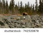 brown bear grizzly looking into ...   Shutterstock . vector #742520878