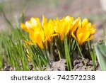 crocus  crocuses or croci that... | Shutterstock . vector #742572238