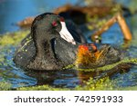 American Coot Feeding Her Chick