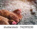 chicken eggs waiting feed in... | Shutterstock . vector #742595230
