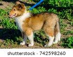 Sable Rough Collie Dog Puppy...