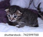 tiny brown tabby kitten | Shutterstock . vector #742599700