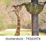 Giraffe Reaching Up To Feeder...