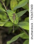 Small photo of Olive clubtail dragonfly, Stylurus olivaceous, an attractive, golden member of the Odonata, perched on a shrub at Mud Pond in Sunapee, New Hampshire.