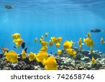 Yellow Tang  Underwater...