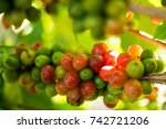 coffee beans on a branch of tree   Shutterstock . vector #742721206