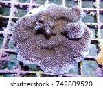 purple haze montipora  sps hard ... | Shutterstock . vector #742809520