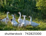 geese in the village.   group...