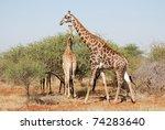 giraffes kruger park south... | Shutterstock . vector #74283640