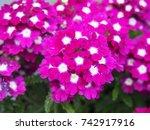 Blooming Verbena   Vervain