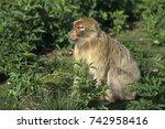 barbary macaque  macaca... | Shutterstock . vector #742958416