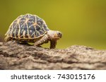Stock photo indian star tortoise 743015176