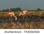 flamingos  patagonia argentina   Shutterstock . vector #743036560