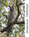 northern long eared owl in a... | Shutterstock . vector #743055163
