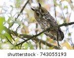 northern long eared owl in a... | Shutterstock . vector #743055193