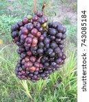 Small photo of Pourouma cecropiifolia (Amazon Grape, Amazon Tree-grape or Uvilla; syn. P. multifida) is a species of Pourouma, native to tropical South America. Urticaceae family.