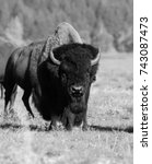 Black and white photo of a bull bison in the Grand Teton National Park, Wyoming - stock photo