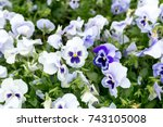 white and purple violets.... | Shutterstock . vector #743105008