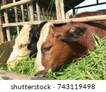 Two Young Cows Of Black And...