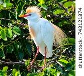 a male cattle egret perching in ... | Shutterstock . vector #743121874