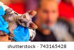 sphynx cat is a breed of cat... | Shutterstock . vector #743165428