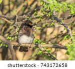 Small photo of An African Red-Eyed Bulbul at Augrabies Falls National Park in the Northern Cape province of South Africa.