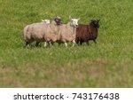 four sheep  ovis aries  walk in ... | Shutterstock . vector #743176438