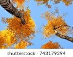 Autumn Birch On The Sky. Yello...