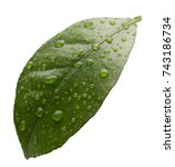 tangerine leaf with water drops ...   Shutterstock . vector #743186734