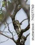 Small photo of Wild lizard in a tree (agama / agamidae)