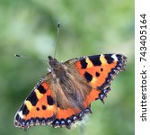 Small photo of Small Tortoiseshell butterfly (Aglais urticae) basking with wings spread, Welney WWT Reserve, Norfolk, England, UK.