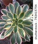 Small photo of Aeonium succulent