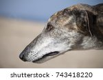 portrait of an old greyhound at ... | Shutterstock . vector #743418220