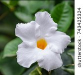 Small photo of Sundaville Beauty white flower in tropical Garden in Tenerife, Canary Islands, Spain. Beautiful blooming Mandevilla or Dipladenia background. Vibrant floral image.