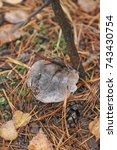 Small photo of The mushroom Tricholoma grow in the autumn forest.