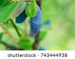ripe honeysuckle berries.... | Shutterstock . vector #743444938