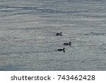 goose family is swimming in... | Shutterstock . vector #743462428
