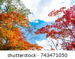 Colorful Maple Trees In Red...