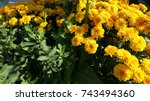 yellow flowers image which can... | Shutterstock . vector #743494360