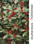 Small photo of American Holly (Ilex opaca) with thorny green leaves and red berries in winter.
