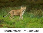 Lioness Is Standing Next Lake