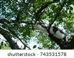 Stock photo young cat on a cherry tree ready to jump bottom view 743531578