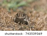 The western toad (Anaxyrus boreas, formerly Bufo boreas) is a large toad species, between 5.6 and 13 cm (2.2 and 5.1 in) long, native to western North America.