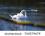 swan nuzzling its feathers on a ... | Shutterstock . vector #743579479
