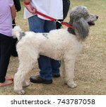 white and gray poodle on a... | Shutterstock . vector #743787058